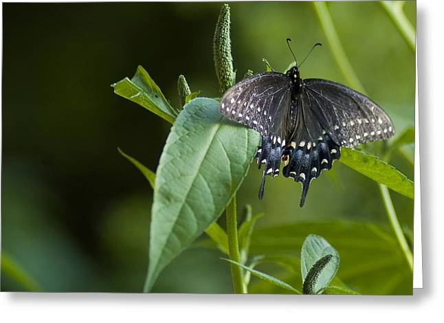 Spicebush Swallowtail II Greeting Card