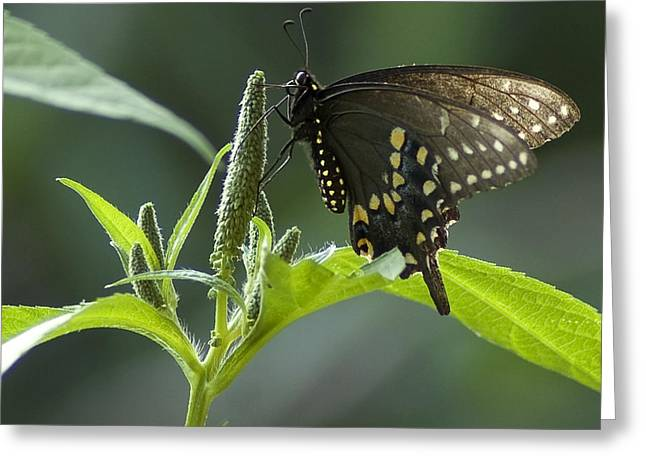 Spicebush Swallowtail IIi Greeting Card