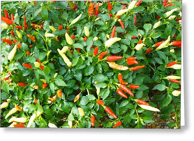 Spicy Chili Plant Greeting Card by Art Spectrum