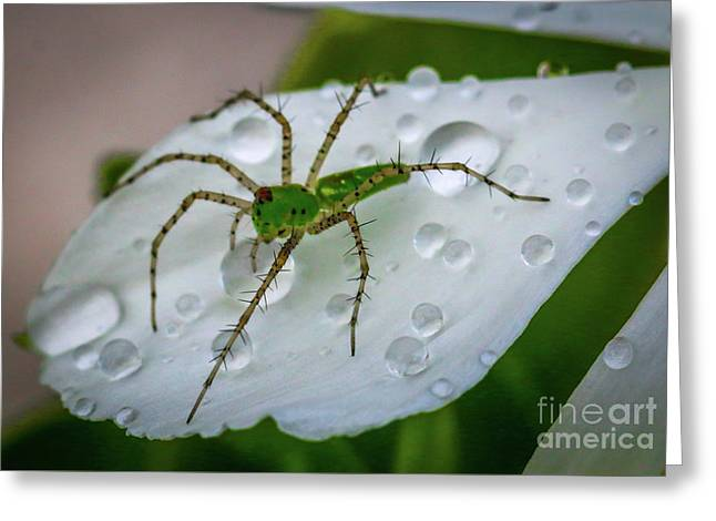 Spider And Flower Petal Greeting Card by Tom Claud