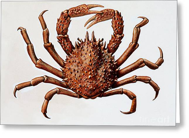 Spider Crab Or Spinous Spider Crab Greeting Card