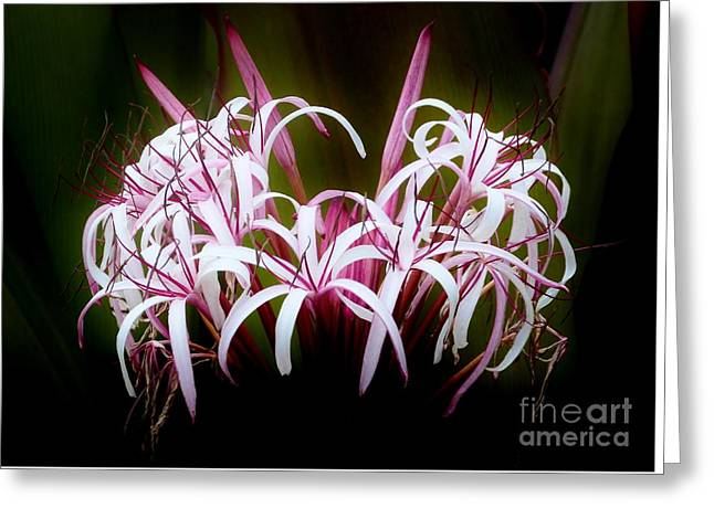 Spider Lilly Greeting Card by Amar Sheow