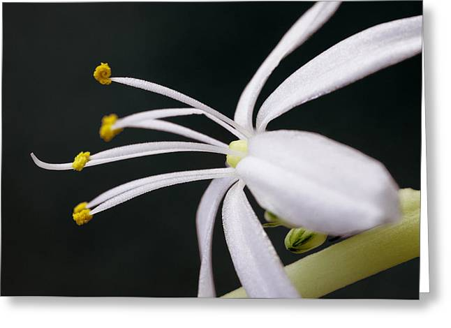 Spider Plant Flower Greeting Card