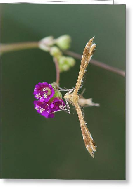 Spiderling Plume Moth On Wineflower Greeting Card