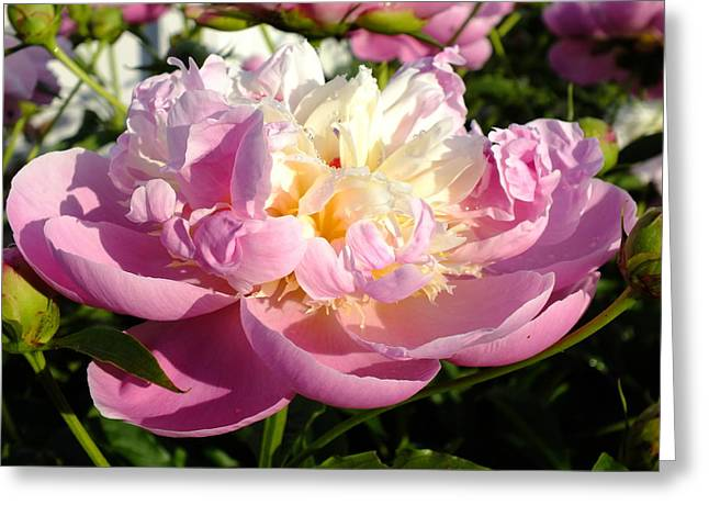 Sorbet Peony - Dew Greeting Card by Cindy Treger