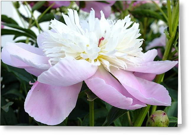 Sorbet Peony Greeting Card by Cindy Treger