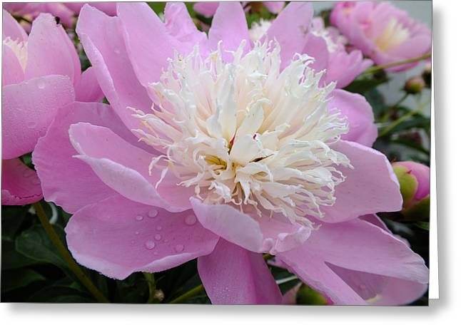 Sorbet Peony - Beauty Greeting Card by Cindy Treger