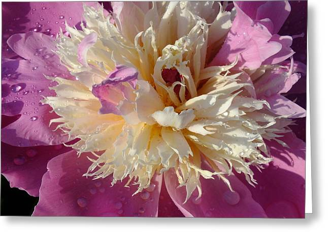Single Sorbet Peony Greeting Card by Cindy Treger