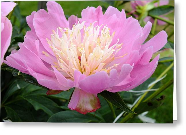 Sorbet Peony - Maroon Edge Greeting Card by Cindy Treger