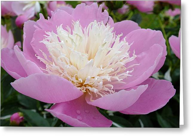 Sorbet Peony - Displayed Greeting Card by Cindy Treger