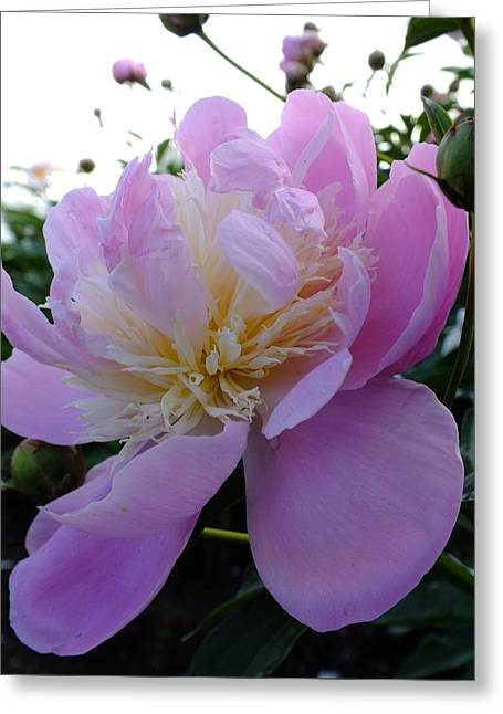 Sorbet Peony - Side View Greeting Card by Cindy Treger