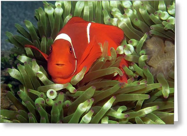 Spinecheek Anemonefish, Indonesia 2 Greeting Card