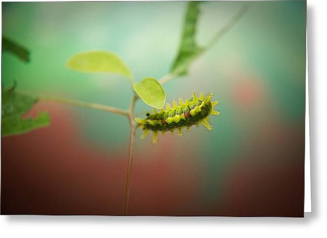 Spiny Oak Slug Moth 4 Greeting Card by Douglas Barnett