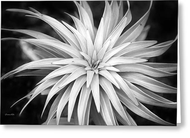 Greeting Card featuring the photograph Spiral Black And White by Christina Rollo