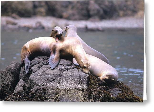 Spirited Sea Lions Greeting Card