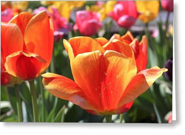 Canandaigua Greeting Cards - Splash of Spring Greeting Card by Daniel Fealko