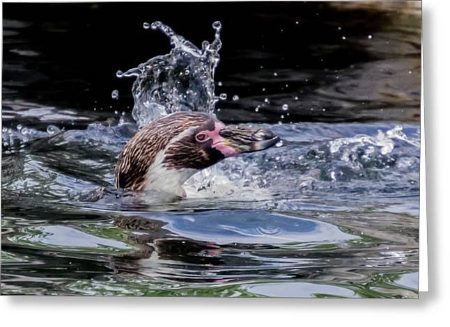 Greeting Card featuring the photograph Splashing Humboldt Penguin by Scott Lyons