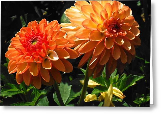 Splendor Of Fall Dahlias  Greeting Card