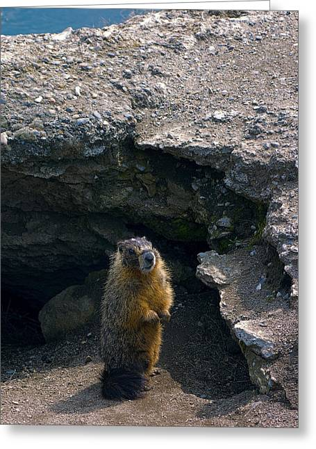 Spokane River Marmot Greeting Card by Daniel Hagerman