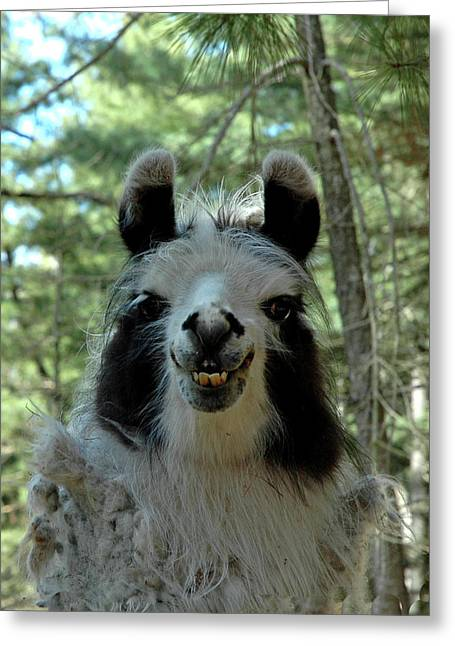 Greeting Card featuring the photograph Spooky Llama by LeeAnn McLaneGoetz McLaneGoetzStudioLLCcom