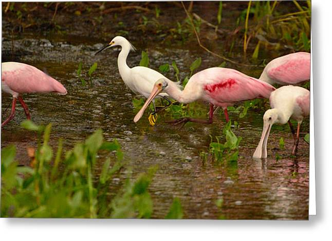 Spoonbill Feed Greeting Card
