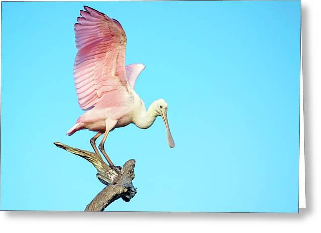 Spoonbill Flight Greeting Card