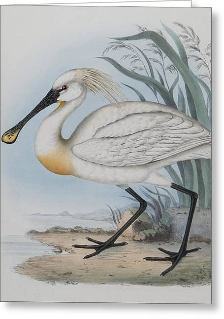 Spoonbill Greeting Card by John Gould