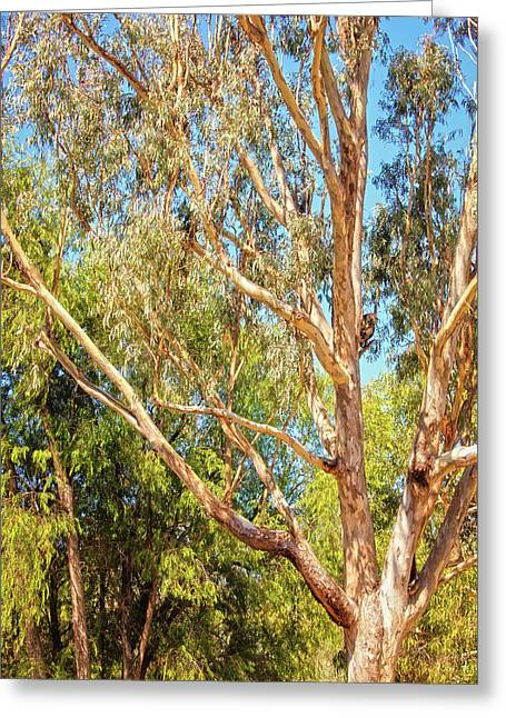 Spot The Koala, Yanchep National Park Greeting Card