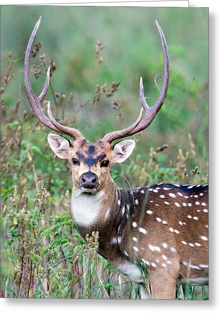 Spotted Deer Axis Axis, Kanha National Greeting Card