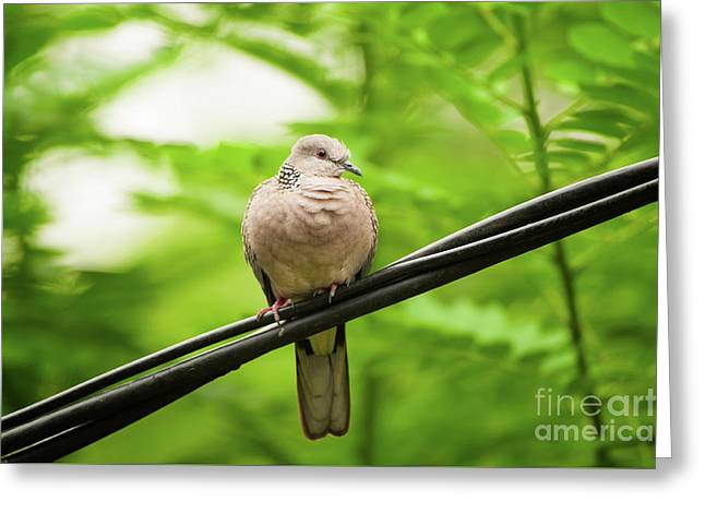 Spotted Dove   Greeting Card