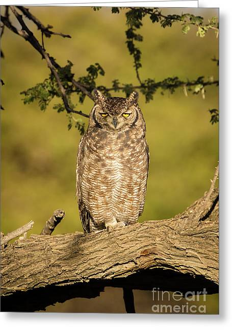 Spotted Eagle-owl  Greeting Card by Inge Johnsson