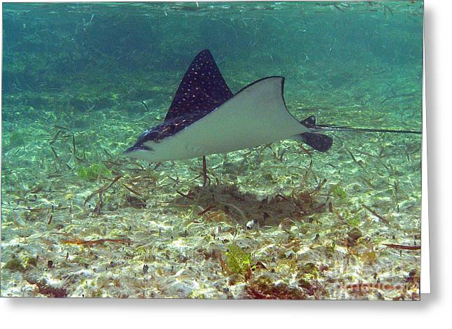Spotted Eagle Ray Greeting Card by Li Newton