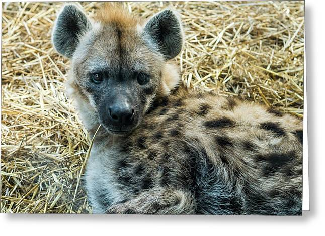 Spotted Hyena Greeting Card by Steven Ralser