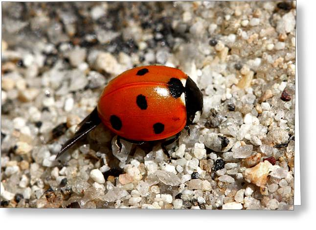 Ladybug Greeting Cards - Spotted Ladybug Wings Dragging In Sand Greeting Card by Tracie Kaska