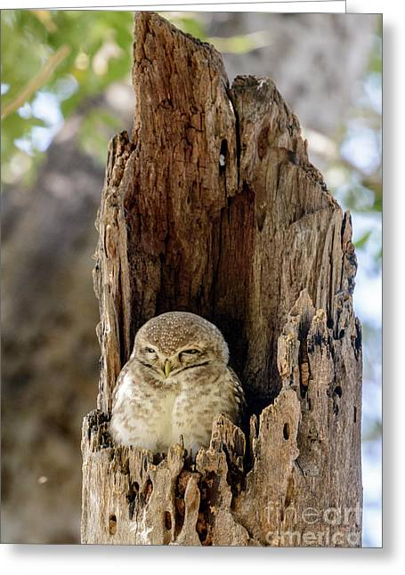 Spotted Owlet Greeting Card
