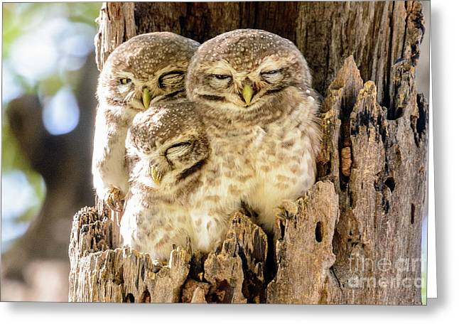 Spotted Owlets Greeting Card