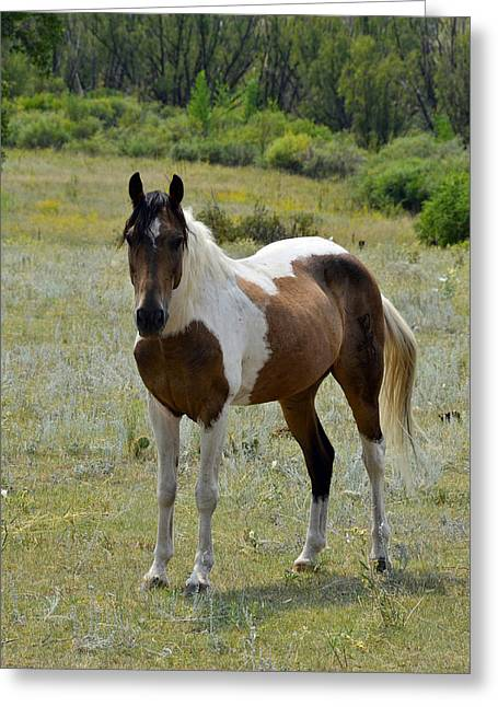 Wild Horses Greeting Cards - Spotted Perfection Greeting Card by Ken Smith