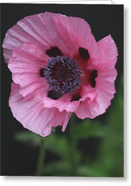 Spotted Pink Poppy Greeting Card