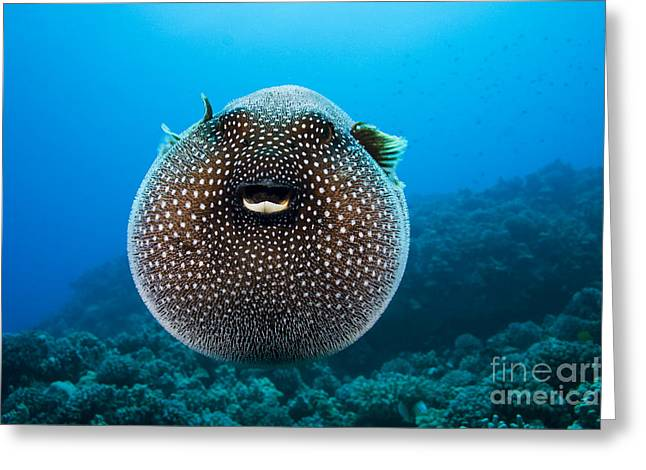 Spotted Pufferfish Greeting Card by Dave Fleetham - Printscapes