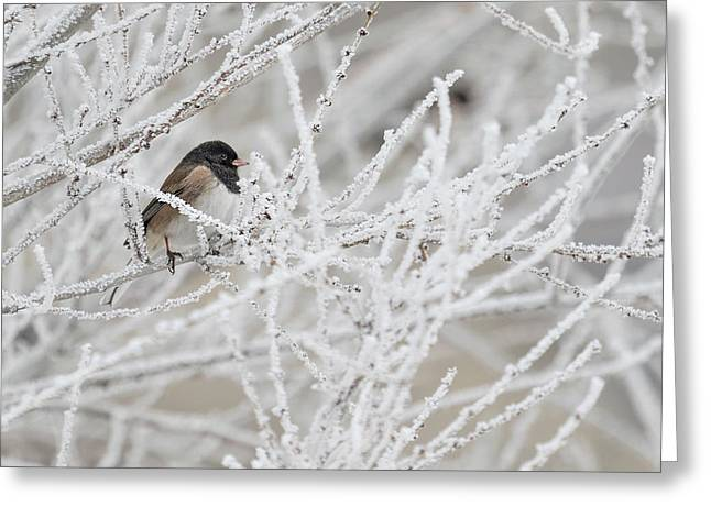 Spotted Towhee In Winter Greeting Card
