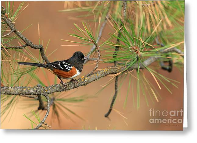 Spotted Towhee Greeting Card by Beve Brown-Clark Photography