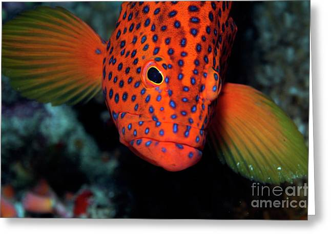 Spotted Vermillon Rock Cod  Greeting Card by Sami Sarkis
