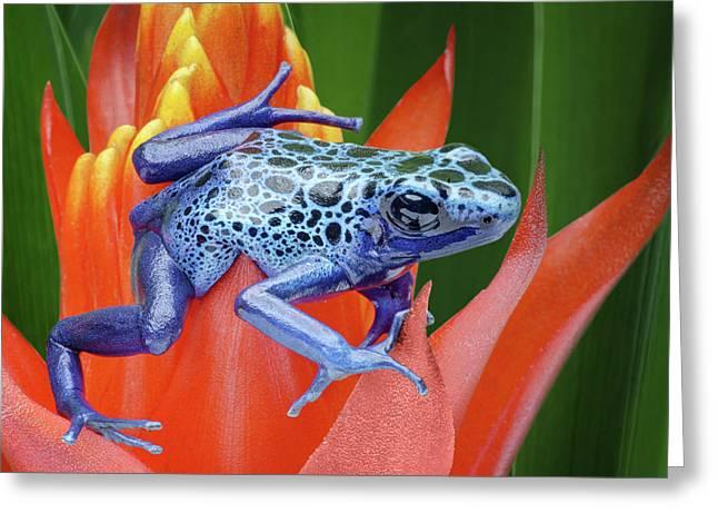 Sprawled - Poison Dart Frog Greeting Card