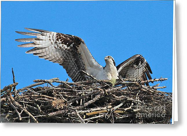 Greeting Card featuring the photograph Spread-winged Osprey  by Debbie Stahre