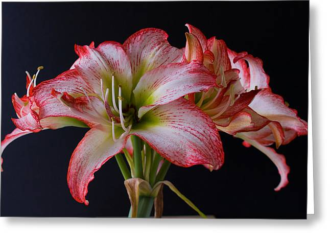 Spring Amaryllis Greeting Card by Allan  Hughes