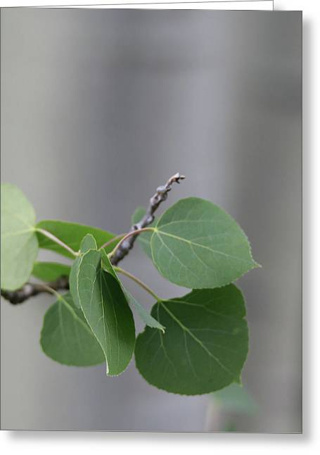 Spring Aspen Leaves Greeting Card by Dan Sproul