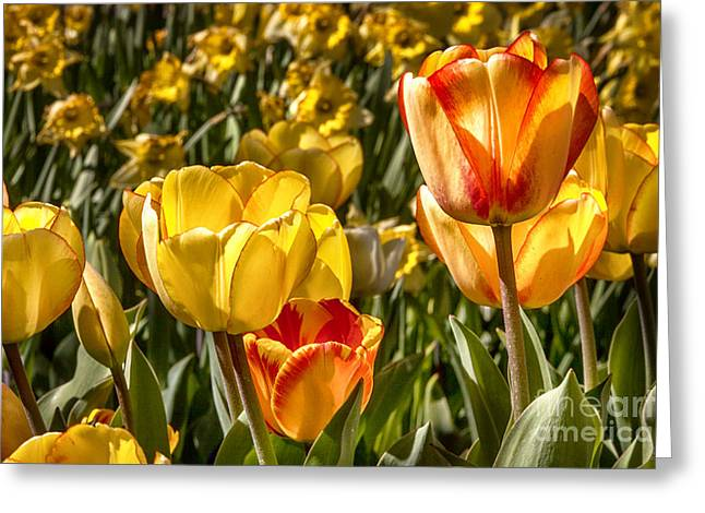 Spring Beauty 1 Tulips Large Canvas Art, Canvas Print, Large Art, Large Wall Decor, Home Decor, Greeting Card by David Millenheft
