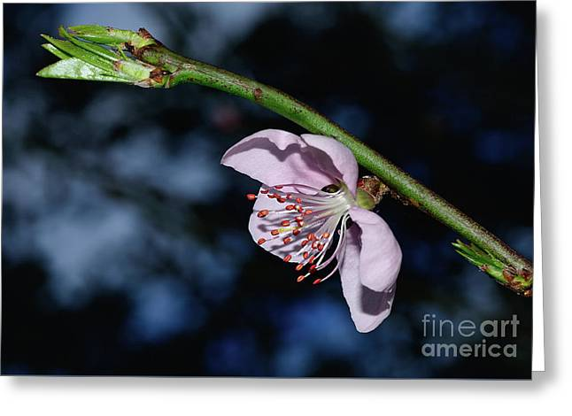 Greeting Card featuring the photograph Spring Blossom At Sunset By Kaye Menner by Kaye Menner