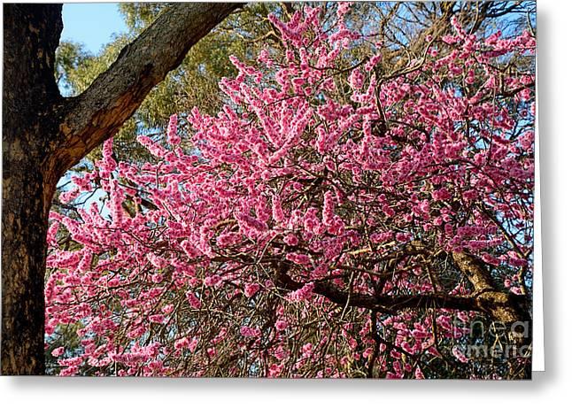 Spring Blossom Tree By Kaye Menner Greeting Card by Kaye Menner