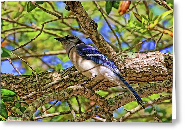 Spring Blue Jay Greeting Card by HH Photography of Florida